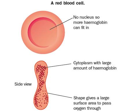 Inside A Red Blood Cell Diagram Www Pixshark Com Images Galleries