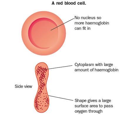 blood gcse revision biology physiology transport. Black Bedroom Furniture Sets. Home Design Ideas