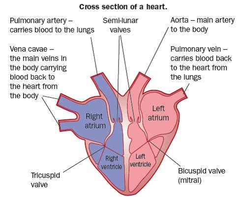 The Heart gcse-revision, biology, physiology, transport