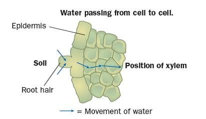 Water gcse revision biology physiology transport plants 0 water then passes from cell to cell by osmosis until it reaches the centre of the root the water enters xylem vessels in the root and then travels up the publicscrutiny Choice Image