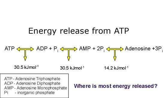 Adenosine Triphosphate Atp Biology A Level Revision