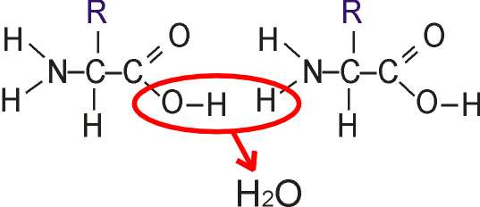 Polymerisation of Amino Acids | gcse-revision, biology ...
