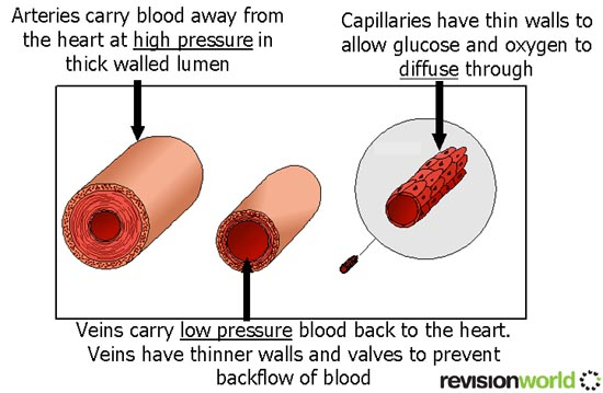 blood transport a2levellevelrevision biology
