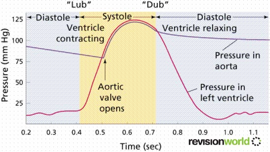 Cardiac Cycle | a2-level-level-revision, biology ...