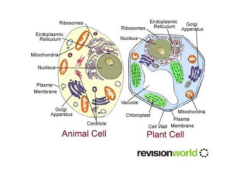 Plant cells vs animal cells gcse revision biology cell activity plant cells vs animal cells ccuart Gallery