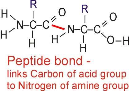 dipeptide diagram polymerisation of amino acids | gcse-revision, biology ...