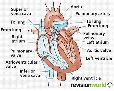 Heart Circulatory System Revision World