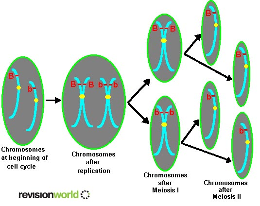 Meiosis sexual reproduction a2 level level revision biology meiosis ccuart Gallery