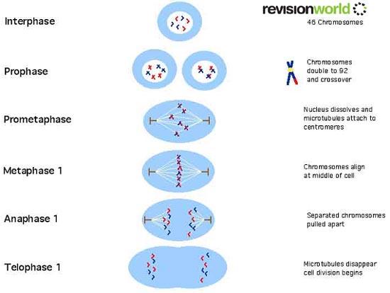 Meiosis diagram a level biology diy enthusiasts wiring diagrams meiosis divisions a2 level level revision biology genes genetic rh revisionworld com fertilization biology fertilization biology ccuart Gallery