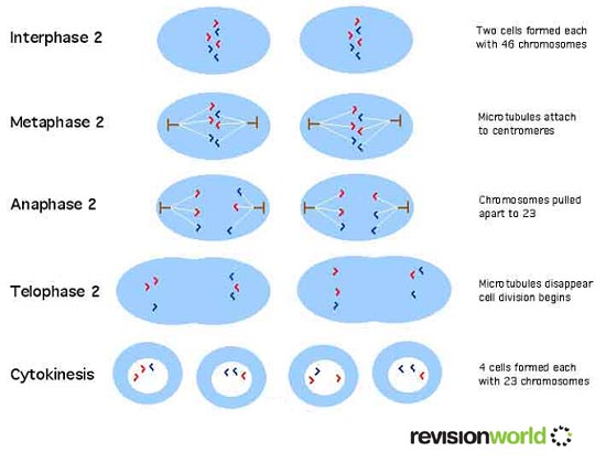 Meiosis divisions a2 level level revision biology genes genetic meiosis second division ccuart Image collections