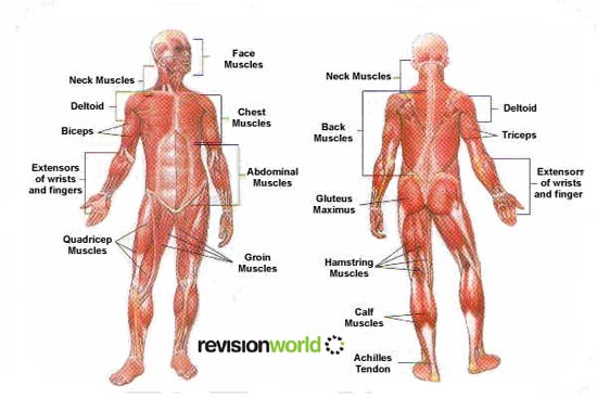 MUSCLE DIAGRAM Unmasa Dalha – Muscle Chart Template