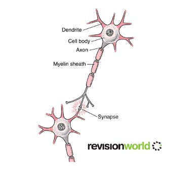 Neurones and synapses gcse revision biology human body nervous neurones ccuart Image collections