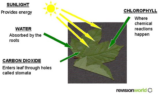 gcse photosynthesis Photosynthesis revision notes and tests for gcse biology.