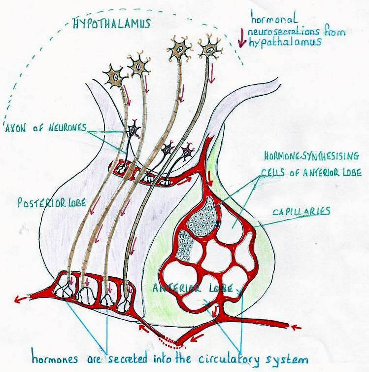 does the pituitary gland produce testosterone