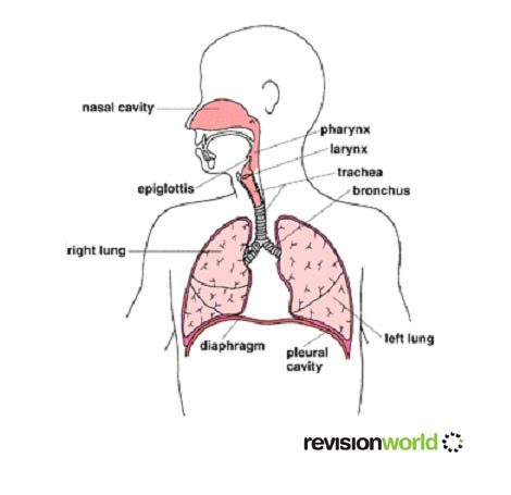 Breathing respiratory system revision world respiratory system ccuart Choice Image