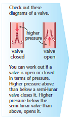 Heart structure function biology revision a level biology heart valve ccuart