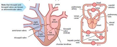 heart structure & function | a2-level-level-revision, biology, Cephalic Vein