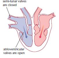 Heart structure function a2 level level revision biology a level biology ventricular diastole ccuart