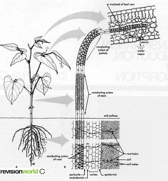 Water Transport in Plants | a2-level-level-revision, biology ...